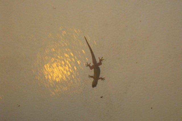 philippines lizard