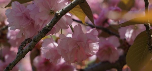 cherry blossom sakura branch brook park